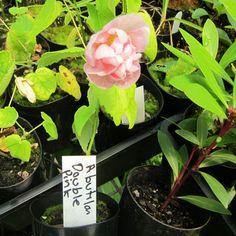 Abutilon-X-Hybridum-rose-flora---Chinese-Lantern-rose-flora