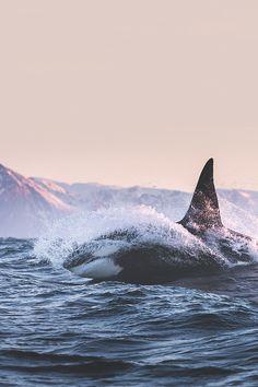 ikwt:Orca above water (Raj Gupta) | ikwt
