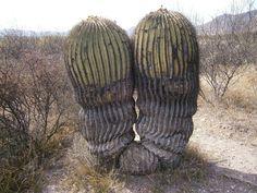 echinocactus - Поиск в Google