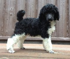 Standard poodle puppy! Too cute!