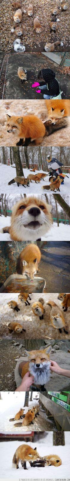 En Japón existe un pueblo donde conviven cientos de zorros
