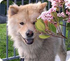 Chow chow mix- kind of resemble my bear, but not as sweet looking