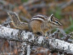 Yellow Pine Chipmunk | Yellow Pine Chipmunk