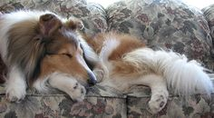 The Night Before,After the Dog Park, ©Janet Wall, at HowtoLoveYourDog.com http://loveyourdog.com #collie #sleeping #rough #sable #dog #canine #beautiful