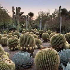 Barrel Cactus Mix Seeds (Echinocactus Species) 20+Seeds