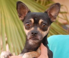 Teddy Bear gave us his sad face for his picture, then went right back to smiling and keeping his chin up when we set him back down.  He is a super cute young Chihuahua, 2 years of age, now neutered and debuting for adoption at Nevada SPCA (www.nevadaspca.org).  Teddy Bear enjoys other dogs too.  He was at another shelter that no longer has an adoption program.  Please visit and ask for Teddy Bear by name.