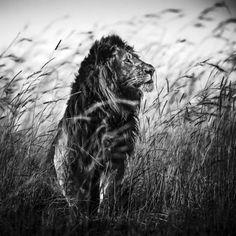 Lion in the grass 1 - Lion dans les herbes 1, Masai Mara, Kenya, 2013 © Laurent…