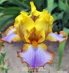 Iris (Iris 'Brown Lasso') uploaded by TBGDN