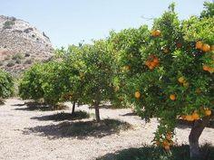 Cyprus Orange Groves on arid desert brushland.
