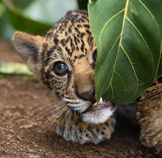 """Happiest Facts Ever Cub: """"What is this leaf exactly? Not really my taste!""""Cub: """"What is this leaf exactly? Not really my taste! Big Cats, Cats And Kittens, Cute Cats, Silly Cats, Siamese Cats, Nature Animals, Animals And Pets, Wild Animals, Green Animals"""