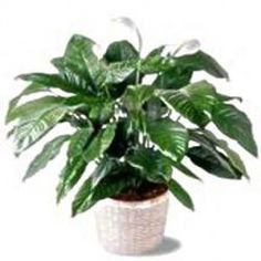 Lo Spathiphyllum, detto anche spatifilium, è una pianta fiorita semplice adatta a matrimoni, ringraziamenti, compleanni ed onomastici.