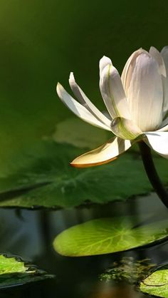 """""""The high plateaus do not produce the lotus flowers; it is the mire of the low swamplands."""" Justin Stone, originator of Tai Chi Chih, in The Vital Force,  1991(http://www.taichichih.org/vital-force/)"""