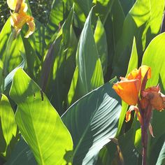 Canna. Grows well in poorly drained soil (like clay soil!) Can tolerate standing water. Great for wet areas of backyard?