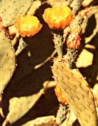 The Many Uses of the Prickly Pear