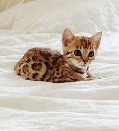 The cutest tiny Bengal kitten❤️