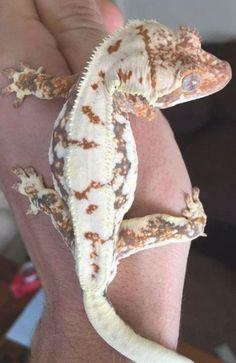 Les Reptiles, Cute Reptiles, Reptiles And Amphibians, Gecko Terrarium, Terrarium Reptile, Terrariums, Cute Lizard, Cute Gecko, Crested Gecko Care