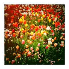 lots of tulips in Artis