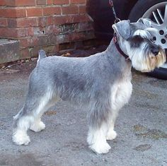 Schnauzer Dogs Haircuts Contemporary Decoration On Haircut Design Ideas