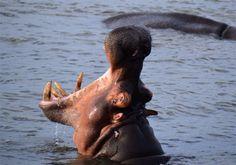 Hippo, St Lucia estuary, KZN, South Africa South Africa, Saints, Wildlife, Animals, Animales, Animaux, Animal, Animais