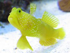 Yellow Watchman Goby - need to get with either the Randalls Pistol Shrimp or Tiger Pistol Shrimp