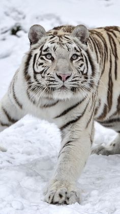 tiger, albino, snow, winter