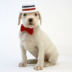 White Boxer Puppy ready for the show...
