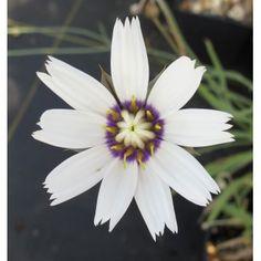 Catananche caerulea Alba (9cm)