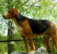 Finnish Hound, Suomenajokoira, Finnish Bracke Dog