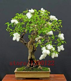 100pcs purple White lilac seeds, lilac clove seeds,bonsai flower seeds,tree seeds ,potted plant for home &garden