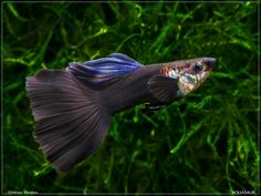gorgeous guppies | but after flashing - it seems even their blue eyes and blue lipstick ...