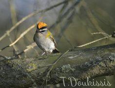 Théodore Doukissis nous a transmis plusieurs photos de Roitelets triple-bandeau (Regulus ignicapilla) et huppé (R. regulus) prises en Belgique en mars 2017 avec un Nikon D3200 + Tamron 70-300 mm.