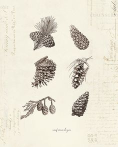 Vintage Pine Cones Neuf Cones De Pin on French Ephemera Print . great for winter time/Christmas Science Illustration, Plant Illustration, Acorn Tattoo, Pinecone Tattoo, Vintage Prints, Pine Tree Art, Nouveau Tattoo, Artwork Images, Delicate Tattoo