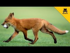 A fox steals a mans golf ball and has the time of his life! So cute!