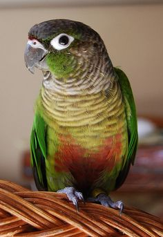 Green Cheeked Conure Looks exactly like Marley!