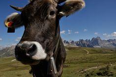 """Neugierig und keck lugt die Kuh in die Kamera und scheint auf der Fototapete """"Na du?"""" zu fragen. Lustig Kühe in freier Natur sind in den Bergen und Berglandschaften eine willkommene Abwechslung zum alltäglich Abstrakten. Mit der Kuh, den Wiesen und Bergen im Hintergrund ist dem Designer Martin Kompatscher aus interessanter Perspektive ein ungewöhnliches Bild gelungen. Natur für Ihrem Wohnbereich. #wallpaper"""