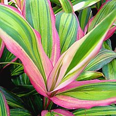 Houseplants for Better Sleep Rainbow Cordyline 'Kiwi' Tropical Garden Design, Tropical Backyard, Tropical Landscaping, Landscaping Plants, Garden Plants, Tropical Flowers, Tropical Plants, Pink Flowers, Ti Plant
