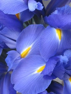 Blue Iris Flowers by shaire...