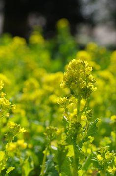 Canola flower Canola Flower, Wild Flowers, Herbs, Flowers, Herb, Wildflowers, Spice