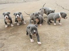 Puppies! <3 <3 <3 Pictures of  Bully PR UKC and ADBA Pitbull Puppies blue and gray