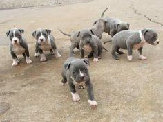 pitbull puppies <3