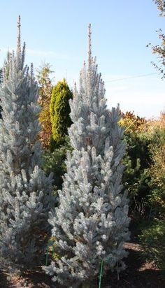 Ель колючая 'Айсели Фастигиата'   Picea pungens 'Iseli Fastigiate' USDA 2