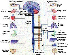 Anatomy and Physiology: Nervous System | Nursing Crib