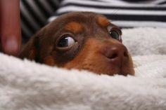I love Dachshunds : Doxie Eyes