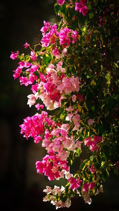 Pink Bougainvillea.  Drought tolerant, fast growing, and colorful.