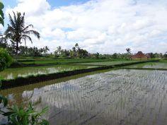 Rijstvelden Ubud  - Vrijwilligerswerk Bali