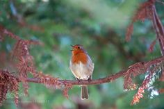 happy robin.. by ThierryRossier #animals #animal #pet #pets #animales #animallovers #photooftheday #amazing #picoftheday
