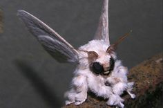 Ohhh!  Poodle moth