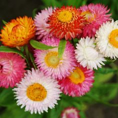 Strawflower Seeds - Swiss Giants MixExtra large, double blooms set our Swiss Giants Mix apart from the rest. This amazing strawflower mix offers a wide range of bright colors, perfect for cutting or drying. Known to some as Everlasting Flower, its easy to see why this delightful bloom deserves such a name--it's stiff, papery bracts never wilt and hold their color indefinitely.