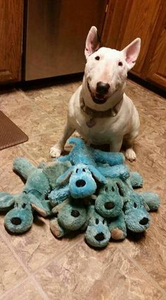 Uplifting So You Want A American Pit Bull Terrier Ideas. Fabulous So You Want A American Pit Bull Terrier Ideas. Chien Bull Terrier, Bull Terrier Puppy, Animals And Pets, Baby Animals, Cute Animals, I Love Dogs, Cute Dogs, Miniature Bull Terrier, Bullen
