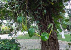Semi-herbácea, pertence à família Araceae, nativa das Ilhas Salomão, perene, vigorosa, de até 20 metros de comprimento, de folhagem muito ornamental. Folha